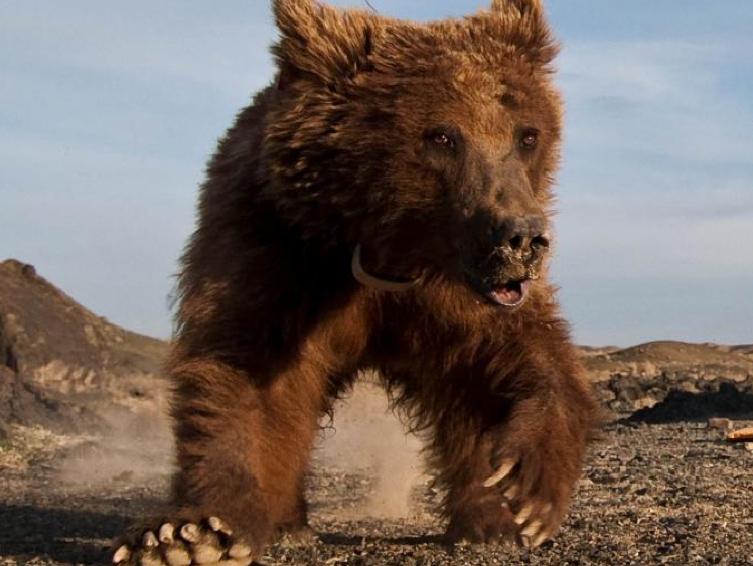 Auf der Spur des Gobibären